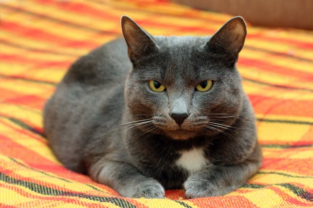 Spinal Cord Inflammation in Cats - Symptoms, Causes, Diagnosis, Treatment, Recovery, Management, Cost