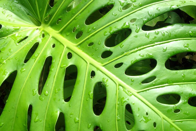 Split Leaf Philodendron Poisoning in Cats - Symptoms, Causes, Diagnosis, Treatment, Recovery, Management, Cost