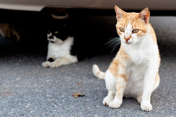 Spontaneous Abortion in Cats