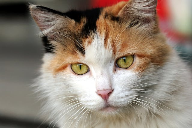 Sporotrichosis in Cats - Symptoms, Causes, Diagnosis, Treatment, Recovery, Management, Cost