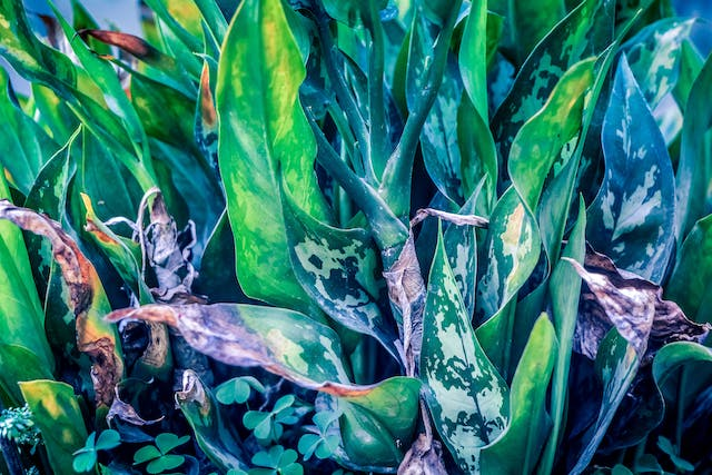 Spotted Dumb Cane Poisoning in Cats - Symptoms, Causes, Diagnosis, Treatment, Recovery, Management, Cost