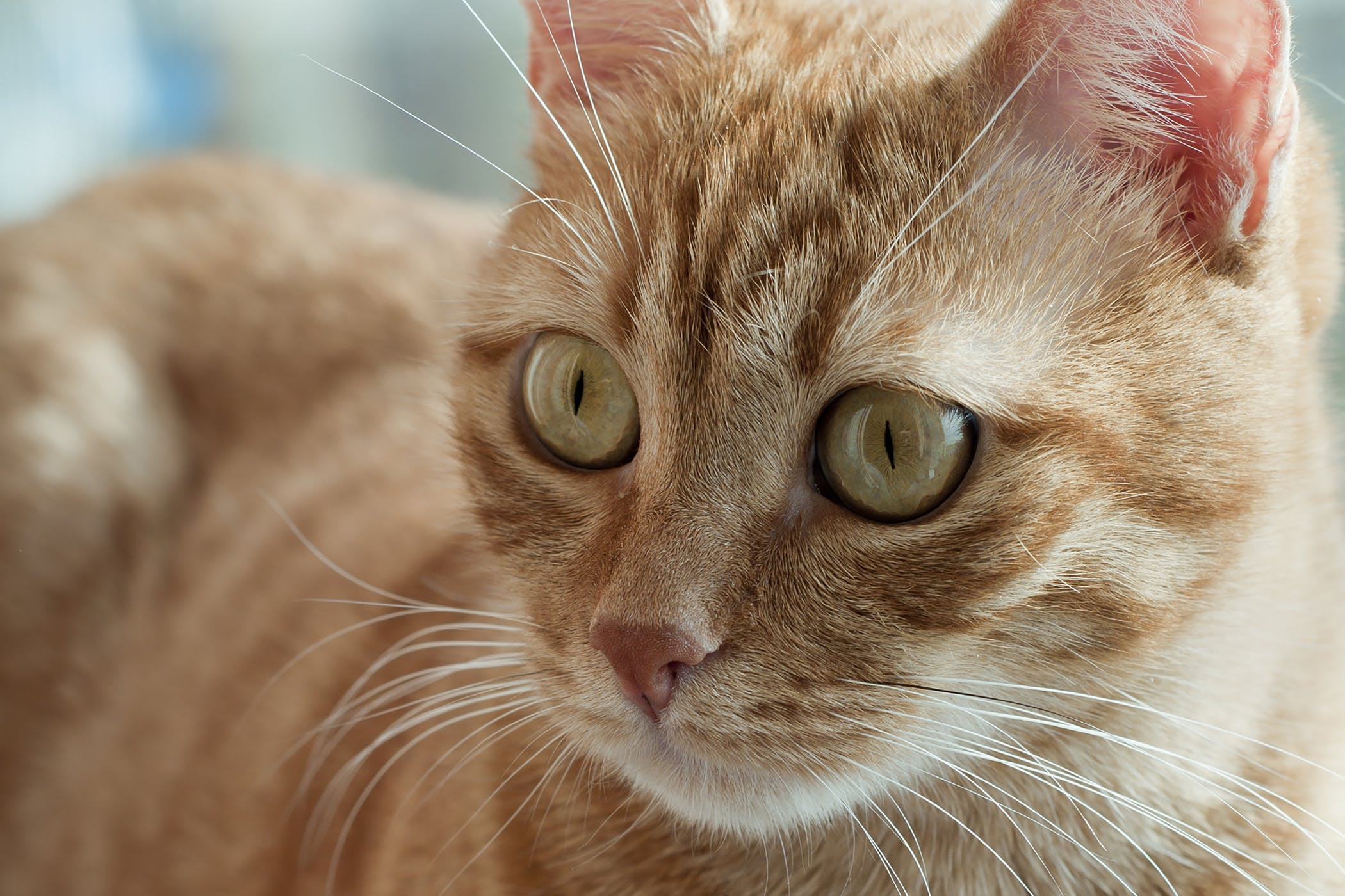 Sprains in Cats - Symptoms, Causes, Diagnosis, Treatment ...