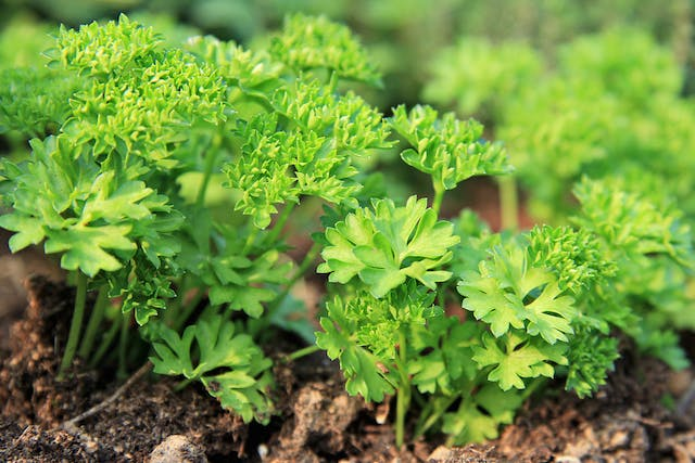 Spring Parsley Poisoning in Cats - Symptoms, Causes, Diagnosis, Treatment, Recovery, Management, Cost