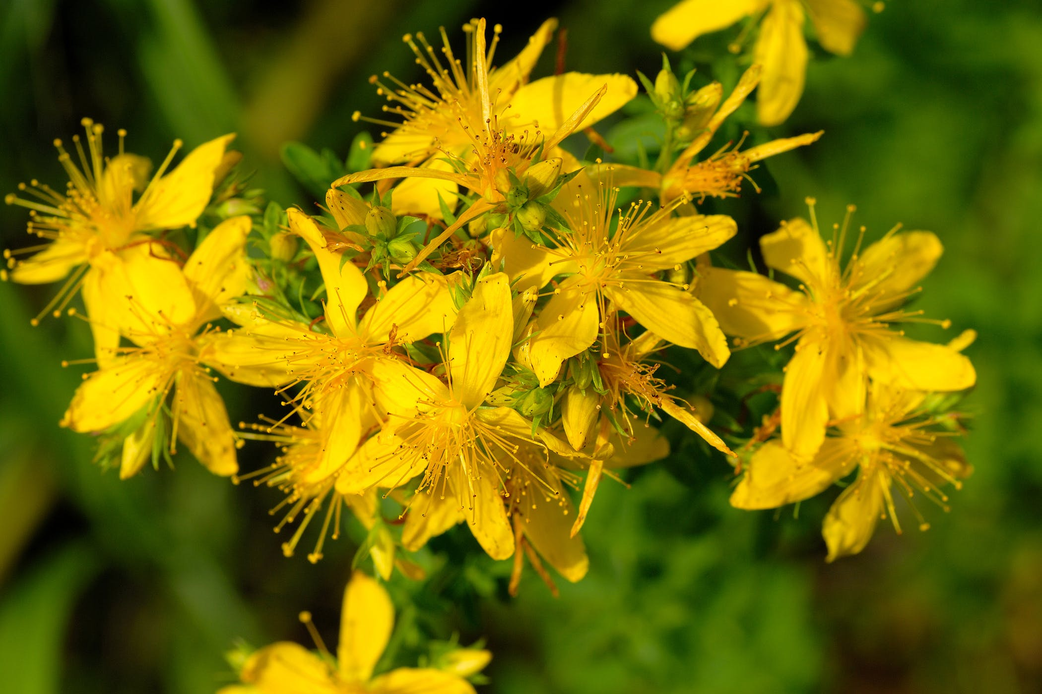 St. John's Wort Poisoning in Cats