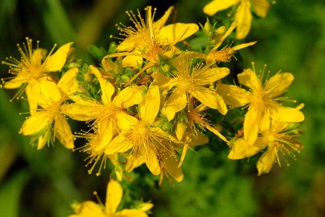 St. John's Wort Poisoning in Cats - Symptoms, Causes, Diagnosis, Treatment, Recovery, Management, Cost