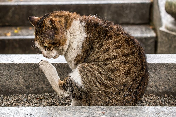 Staph Infection in Cats - Symptoms, Causes, Diagnosis