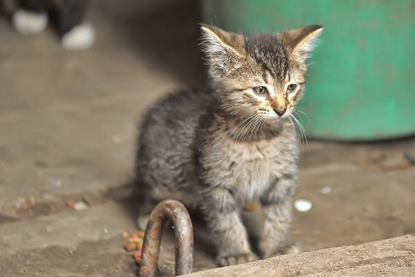 Stem Cell Disorder in Cats - Symptoms, Causes, Diagnosis, Treatment, Recovery, Management, Cost