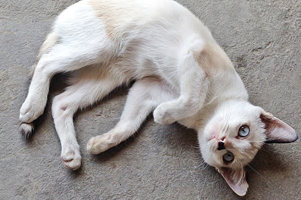 Stomach and Intestinal Cancer in Cats - Symptoms, Causes, Diagnosis, Treatment, Recovery, Management, Cost