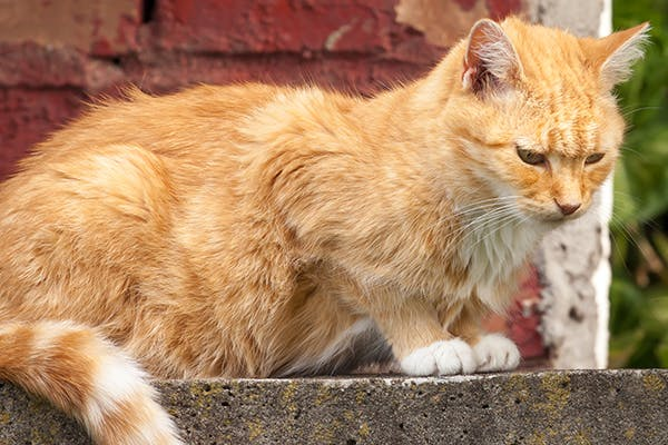 Stomach And Intestinal Ulcers In Cats Symptoms Causes Diagnosis Treatment Recovery Management Cost