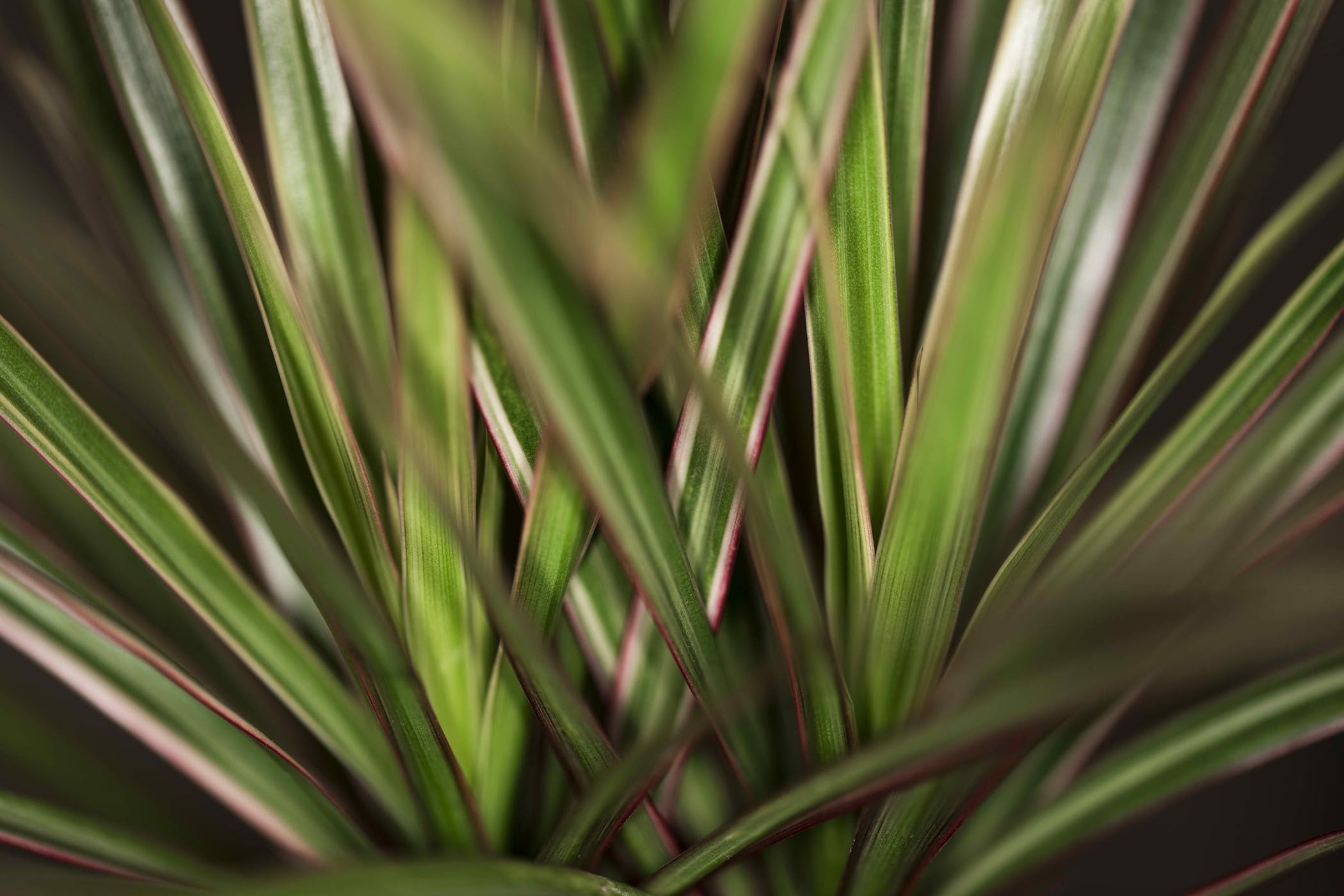 Straight Margined Dracaena Poisoning in Cats