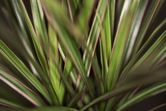 Straight Margined Dracaena Poisoning in Cats - Symptoms, Causes, Diagnosis, Treatment, Recovery, Management, Cost