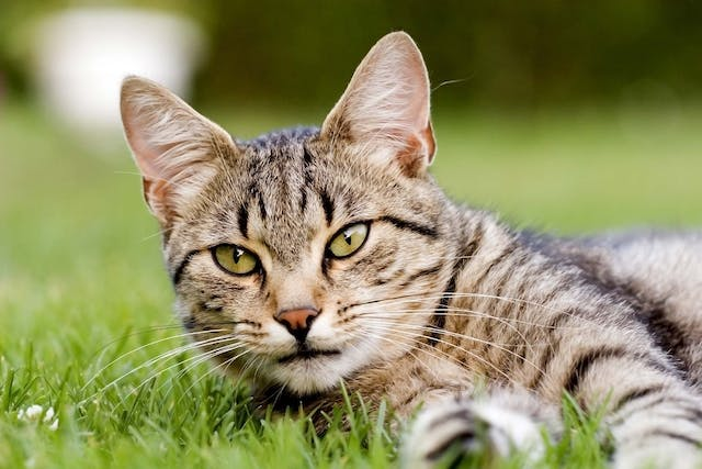 Streptococcal Infection in Cats - Symptoms, Causes, Diagnosis, Treatment, Recovery, Management, Cost