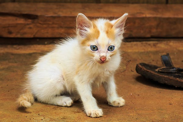 Stud Tail in Cats - Symptoms, Causes, Diagnosis, Treatment, Recovery, Management, Cost
