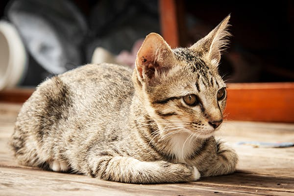 Stupor And Coma In Cats Symptoms Causes Diagnosis