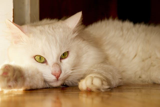 Surgical Fracture Repair for Cats - Conditions Treated, Procedure, Efficacy, Recovery, Cost, Considerations, Prevention