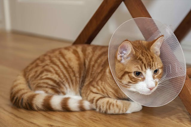 Surgical Removal of Gallbladder Obstruction in Cats - Conditions Treated, Procedure, Efficacy, Recovery, Cost, Considerations, Prevention