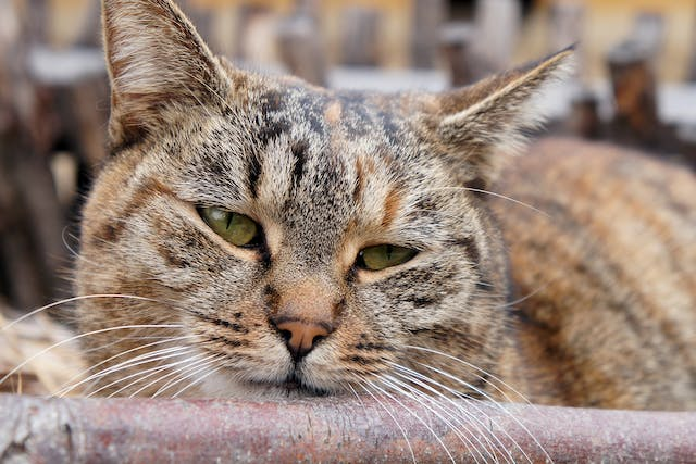 Surgical Tumor Removal in Cats in Cats - Conditions Treated, Procedure, Efficacy, Recovery, Cost, Considerations, Prevention