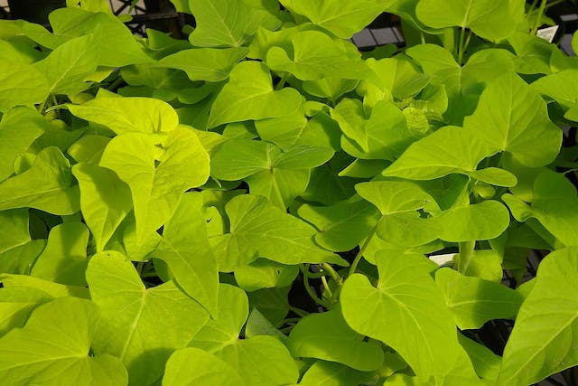 Sweet Potato Vine Poisoning in Cats - Symptoms, Causes, Diagnosis, Treatment, Recovery, Management, Cost