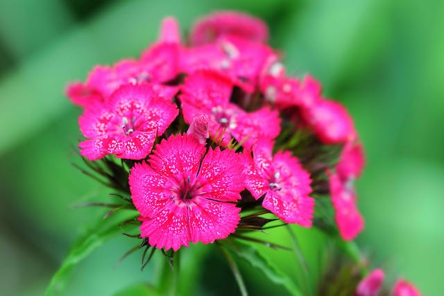 Sweet William Poisoning in Cats - Symptoms, Causes, Diagnosis, Treatment, Recovery, Management, Cost