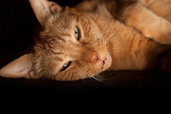 Synechiae in Cats - Symptoms, Causes, Diagnosis, Treatment, Recovery, Management, Cost