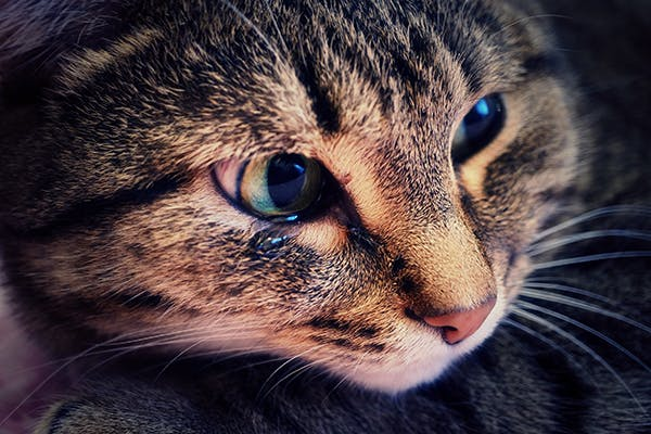 Tapeworms in Cats - Symptoms, Causes, Diagnosis, Treatment