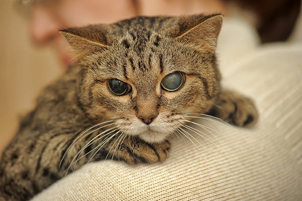 Taurine Deficiency in Cats - Symptoms, Causes, Diagnosis, Treatment, Recovery, Management, Cost