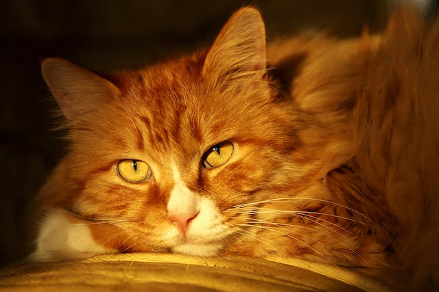 Teeth and Gum Cleaning for Cats - Conditions Treated, Procedure, Efficacy, Recovery, Cost, Considerations, Prevention