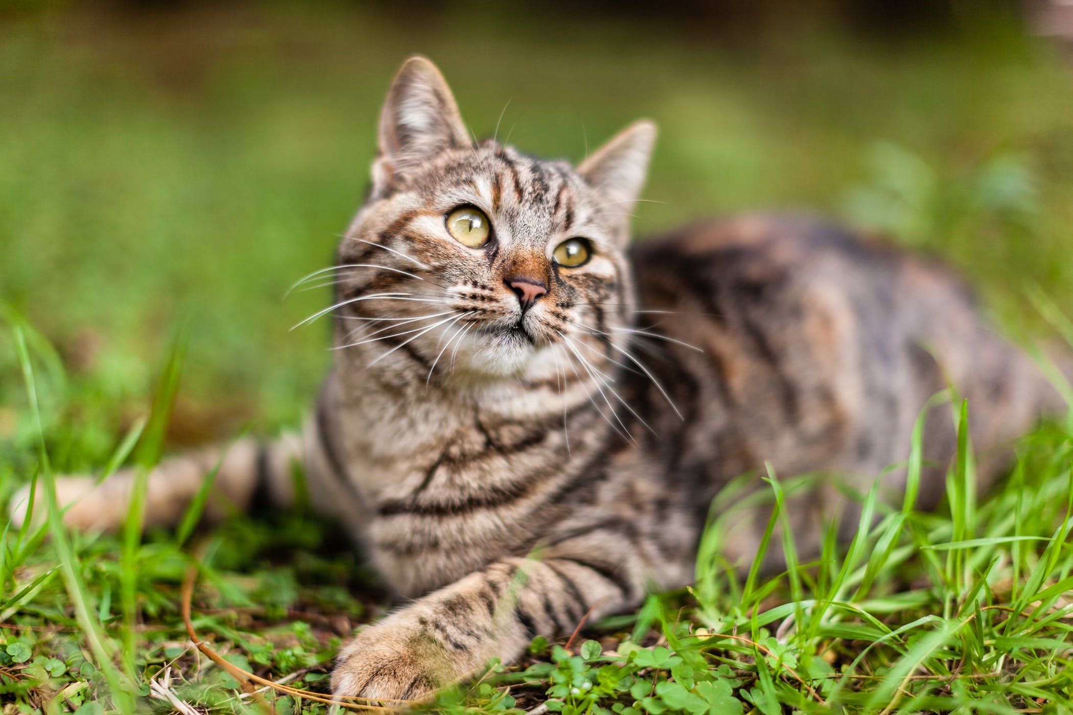 Teeth Plaque Allergy in Cats