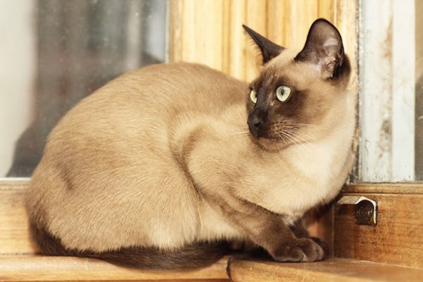Testicular Tumors In Cats