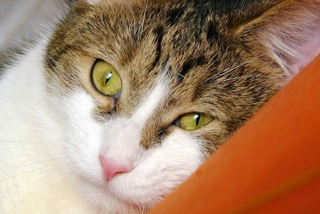 Tetanus in Cats - Symptoms, Causes, Diagnosis, Treatment, Recovery, Management, Cost