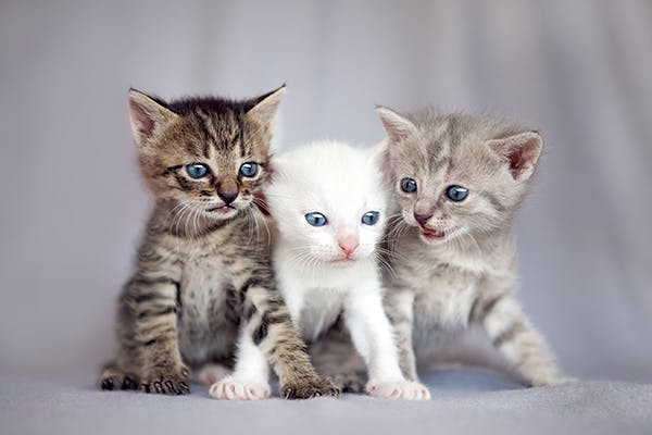 Tetralogy Of Fallot In Cats Symptoms Causes Diagnosis