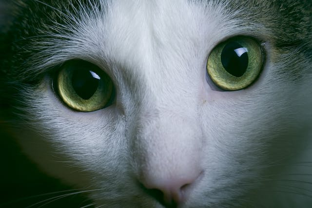 Thickening of the Heart Muscle in Cats - Symptoms, Causes, Diagnosis, Treatment, Recovery, Management, Cost