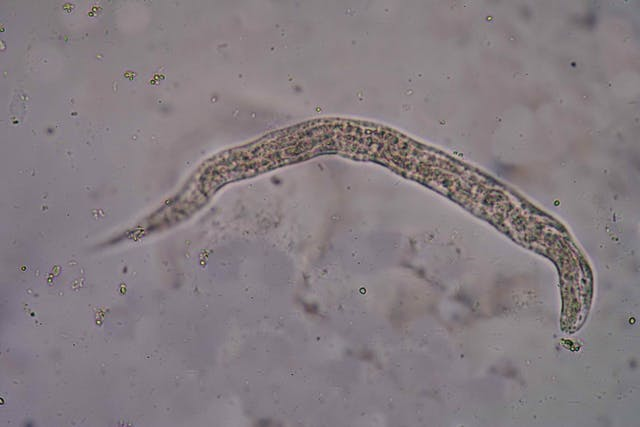 Threadworms in Cats - Symptoms, Causes, Diagnosis, Treatment, Recovery, Management, Cost