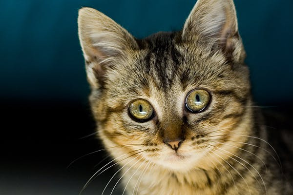 Thyroid Hormone Deficiency in Cats - Symptoms, Causes, Diagnosis, Treatment, Recovery, Management, Cost