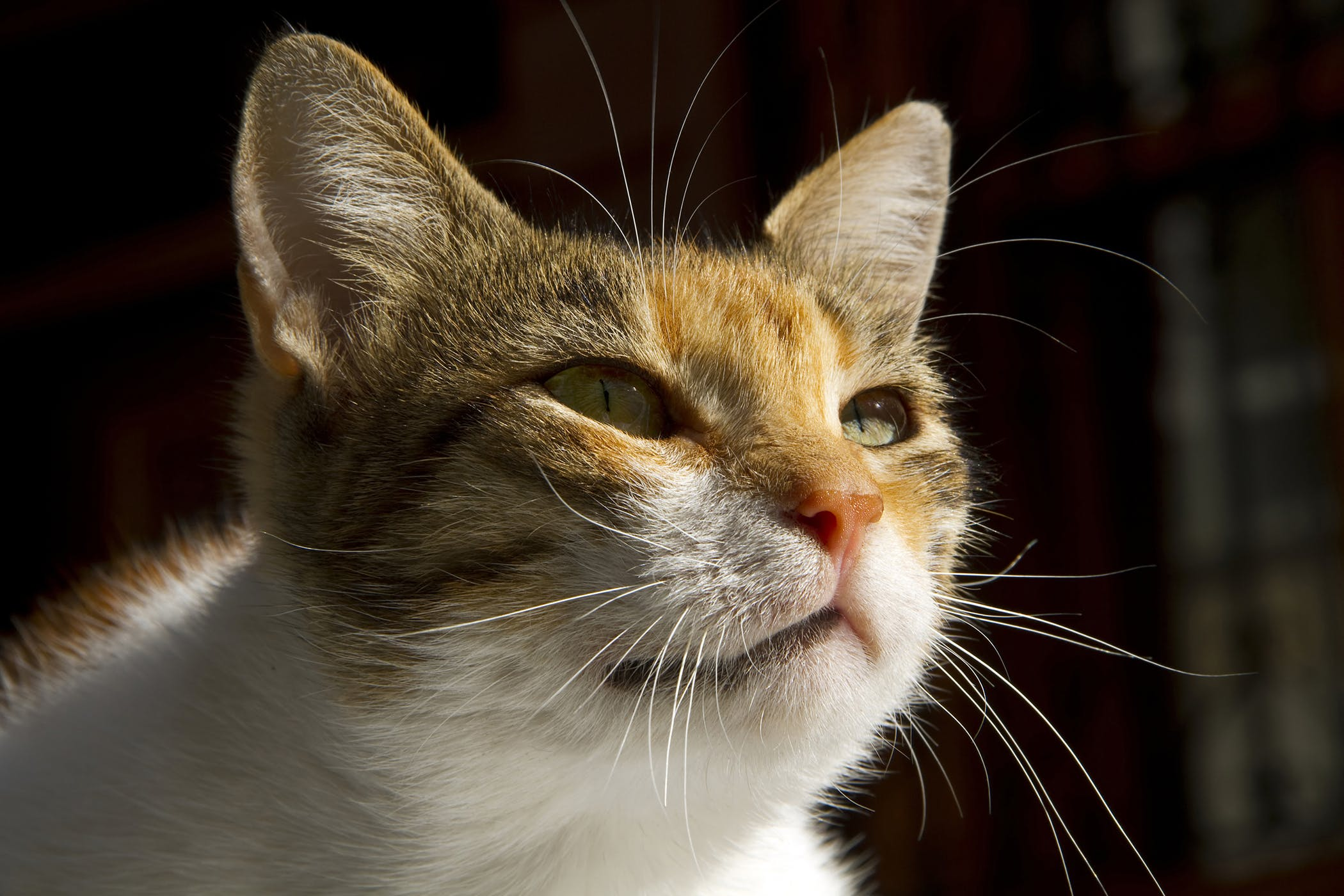 Thyroid Medicine Allergy in Cats