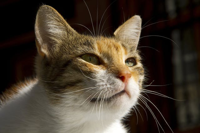 Thyroid Medicine Allergy in Cats - Symptoms, Causes, Diagnosis, Treatment, Recovery, Management, Cost