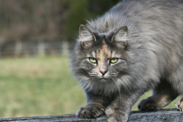 Tibial Tuberosity Fractures in Cats - Symptoms, Causes, Diagnosis, Treatment, Recovery, Management, Cost
