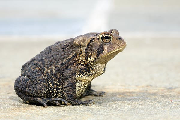 Toad Venom Toxicosis in Cats - Symptoms, Causes, Diagnosis, Treatment, Recovery, Management, Cost