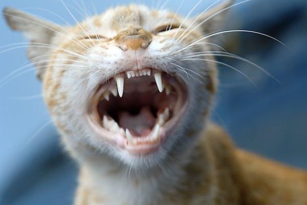 Feral Cat Dental Food