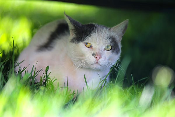 Toxoplasmosis in Cats - Symptoms, Causes, Diagnosis, Treatment, Recovery, Management, Cost