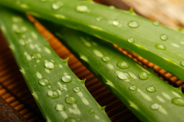 True Aloe Poisoning in Cats - Symptoms, Causes, Diagnosis, Treatment, Recovery, Management, Cost
