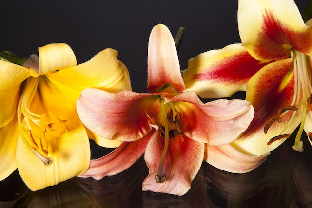 Trumpet Lily Poisoning in Cats - Symptoms, Causes, Diagnosis, Treatment, Recovery, Management, Cost