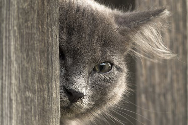 Tumor of the Eye in Cats - Symptoms, Causes, Diagnosis, Treatment, Recovery, Management, Cost