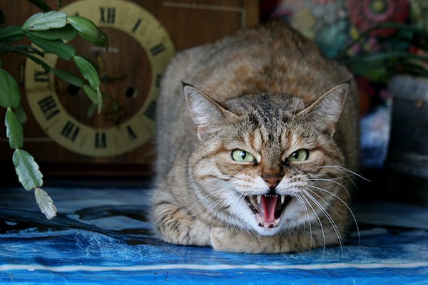 Tumor of the Meninges in Cats - Symptoms, Causes, Diagnosis, Treatment, Recovery, Management, Cost