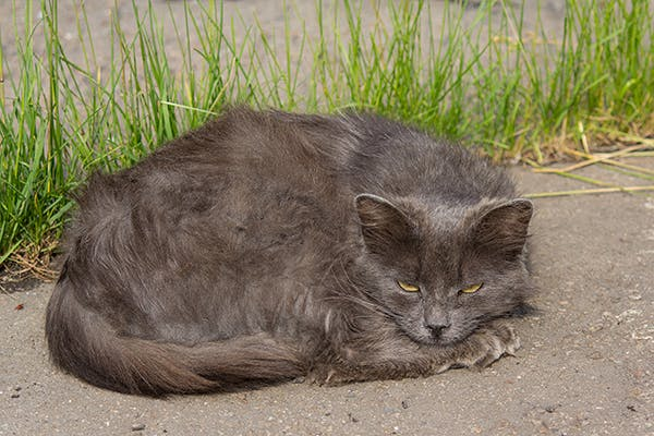 Twisted Spleen In Cats Symptoms Causes Diagnosis