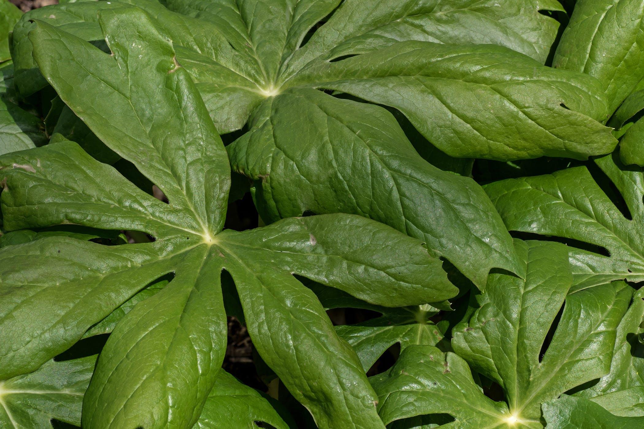 Umbrella Leaf Poisoning in Cats