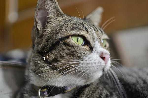 Unintentional Eye Movement in Cats - Symptoms, Causes, Diagnosis, Treatment, Recovery, Management, Cost