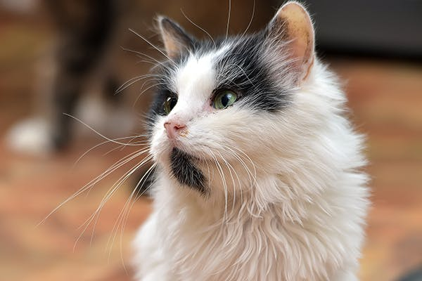 Urinary Bladder Cancer in Cats - Symptoms, Causes, Diagnosis, Treatment, Recovery, Management, Cost