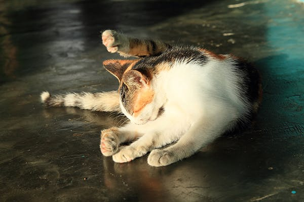 Urinary Tract Infections in Cats - Symptoms, Causes
