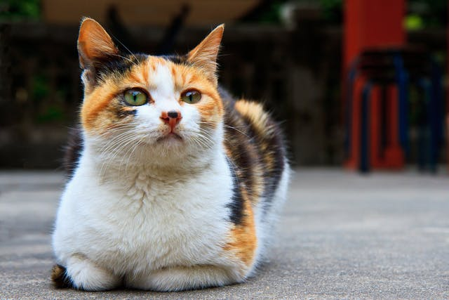 Uterine Prolapse in Cats - Symptoms, Causes, Diagnosis, Treatment, Recovery, Management, Cost